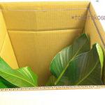 無印観葉植物「アウトレット・オーガスタ フロアサイズ」